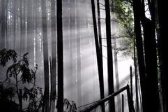 Wintersonnelichtstrahlen gießen durch Bäume in den nebeligen fores Lizenzfreies Stockbild