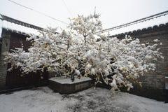 Wintersweet是开放的在雪 库存照片