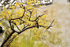 Wintersweet στον κήπο του ταπεινού διοικητή Στοκ Φωτογραφίες