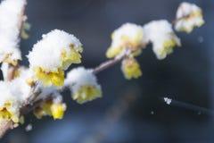 Wintersweet Stockfotografie