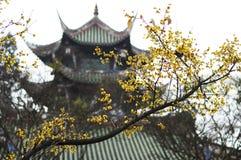 Wintersweet blomma arkivbilder