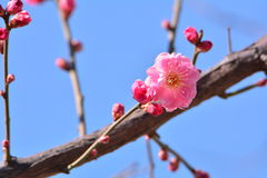 Wintersweet blomma arkivbild