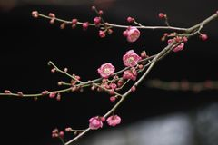 Free Wintersweet Blossombing In A Sunny Day Stock Images - 140260064