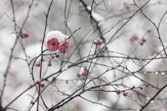 Wintersweet blossombing in the snow day royalty free stock image