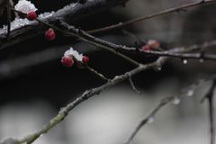 Wintersweet blossombing in the snow day royalty free stock photography