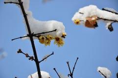 Wintersweet-Blumen mit Schnee Stockbild