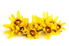 Wintersweet of Chimonanthus-bloemen Stock Fotografie