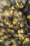 Wintersweet Stock Photo