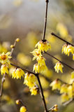 Wintersweet Stock Photography