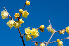 Wintersweet flower Stock Images