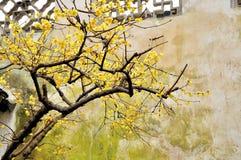 Wintersweet nel giardino dell'amministratore umile Fotografie Stock