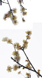 Wintersweet with snow Stock Photos