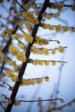 The Wintersweet and Snow Royalty Free Stock Image