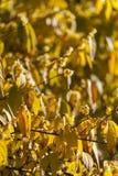 Wintersweet tree flowers in Winter Stock Image