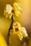 Wintersweet tree flowers in Winter Stock Photo