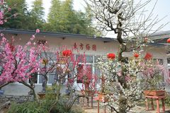 wintersweet tuin van Oostelijk Royalty-vrije Stock Afbeelding
