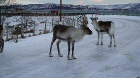 Winterszene: ein Paar Rene auf einer vereisten Straße mit Blick auf einen Fjord in Tromso, Norwegen Stockfotos