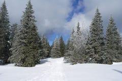 Wintertannenwald Lizenzfreies Stockfoto