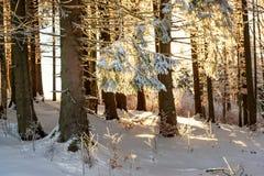 Wintertannenwald belichtet durch Sonne stockbild