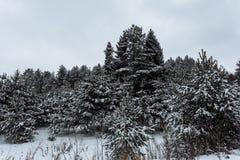 Wintertannenwald gegen den weißen Himmel lizenzfreie stockfotografie
