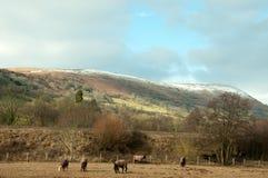 Wintertijd voor een kudde van paarden Stock Fotografie