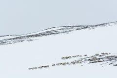 Wintertime Швеция табуна северного оленя Стоковые Фото