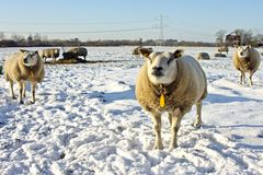 Wintertime in the countryside from Netherlands Royalty Free Stock Photos