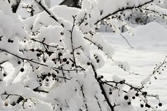Wintertime gałąź i jagody zakrywający z śniegiem Fotografia Stock