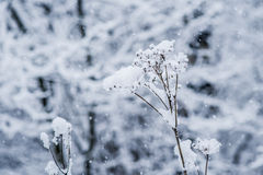 Wintertime. Heavy snowfall in the winter forest. Snowflakes in the air. Fresh snow caps on the umbrella head of wild hemlock plant. Gray, blue and white colors Stock Photography