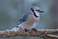 Wintertime Jay. A blue jay (Cyanocitta cristata) perching on a branch in Winter Royalty Free Stock Images