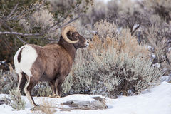 Big Horn Sheep male. Wintertime in the Rocky Mountains states of western USA is difficult for the Big Horn Sheep rams during the rutting season royalty free stock images
