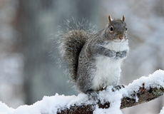 Wintertime Squirrel. A cute gray squirrel in winter standing up on a snowy tree branch Stock Photography