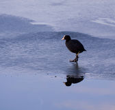 Wintertime, wild duck on iced lake surface with sky reflection o Royalty Free Stock Image