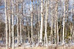 WinterTrees Royalty-vrije Stock Afbeelding