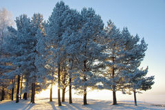 Wintertrees Royalty Free Stock Images
