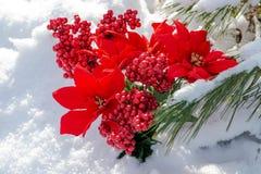 Winterurlaubdekorationskonzept: Blühender Feiertags-roter Poinsettia-, Beerenbusch und gefrorener Schnee bedeckten Kieferzweige stockfotos