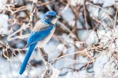 Wintervogelphotographie - blauer Vogel auf Schnee bedeckte Buschbaum lizenzfreies stockfoto