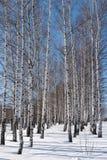 Winterwald des Birkentages Stockfotografie