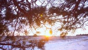 Winterwald, Kiefer verzweigt sich in Strahlen der Wintersonne, Abschluss oben, Schnee bedeckter Wald bei Sonnenuntergang, Schneef stock footage