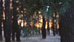 Winterwald, Kiefer verzweigt sich in Strahlen der Wintersonne, Abschluss oben, Schnee bedeckter Wald an den Sonnenuntergangschnee stock video footage