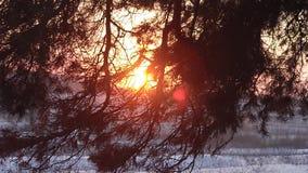 Winterwald, Kiefer verzweigt sich in Strahlen der Wintersonne, Schnee bedeckter Wald an den Sonnenuntergangschneeflocken funkeln  stock video footage