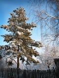 Winterwald mit Kiefer Stockbilder
