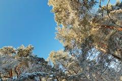 Winterwald mit schneebedeckten Niederlassungen von Bäumen feenhafte Schönheit Lizenzfreies Stockbild
