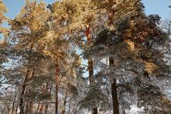 Winterwald mit schneebedeckten Niederlassungen von Bäumen feenhafte Schönheit Lizenzfreie Stockfotos