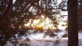 Winterwaldkiefernniederlassungen in den Strahlen des Wintersonnenabschlusses herauf Wald an den Sonnenuntergangschneeflocken funk stock video footage