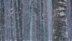 Winterwaldnatur Kiefern-Wald im Winter draußen schneiend stock video