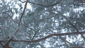 Winterwaldnatur Kiefern-Wald im Winter draußen schneiend stock video footage