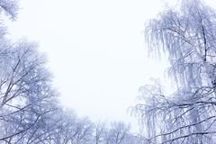 Winterwaldschneebedeckter Birkenwaldungs-Himmelschnee schneebedeckt stockbilder