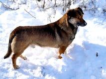 Winterweg eines gelben Hundes Stockfotografie