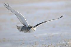 Winterweiße Snowy-Eule im Flug Lizenzfreies Stockfoto